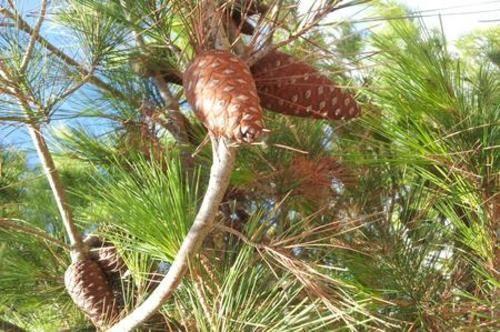 #Guide: Come #essiccare gli aghi di pino da  (link: http://ift.tt/1TYas40 )