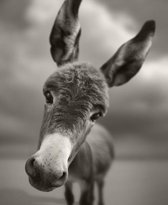 A dreamy donkey.