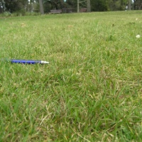 Native Australian lawns - lawn info and lawn seed wholesaler - Native Seeds
