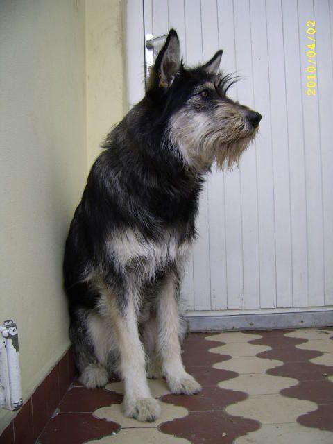 loup-schnauzer géant hybride