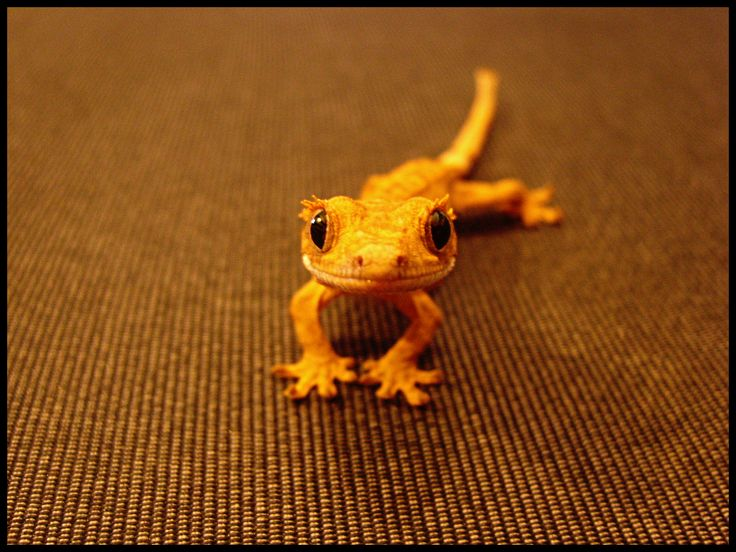 Crested Gecko (So cute!)