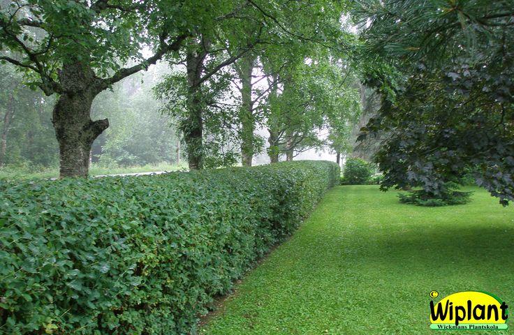 Häckblåtry, Lonicera caerulea 'Jörgen'.  Vanligaste häcken, tät, härdig. Fin  även vintertid. Växer snabbast vid  beskärning. Ej för torra sandjordar. 1-2,5 m hög. Hålls klippt eller friväxande.