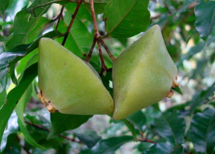 Cambuci, a native tree of Brazil's Atlantic Forest  The flesh of the fruit is slightly sweet with a very acidic flavour of a lemon.