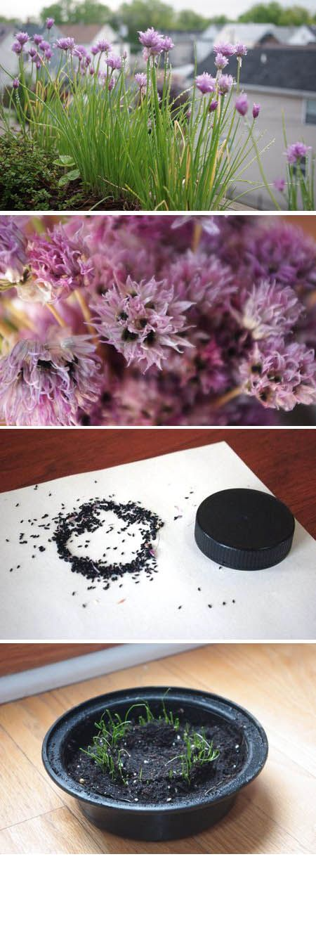 Explanation of how to take seeds from chive flowers, glue them into a pattern on paper, and then plant the paper, essentially making your own customized seed tape.