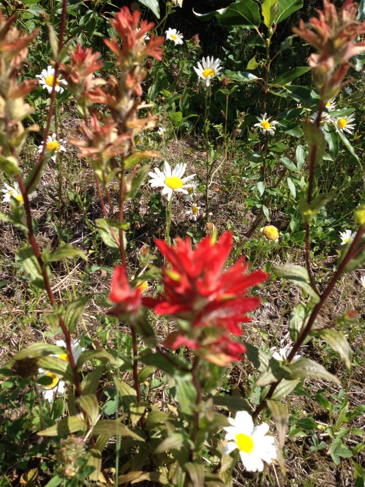 Indian paintbrush at the cabin