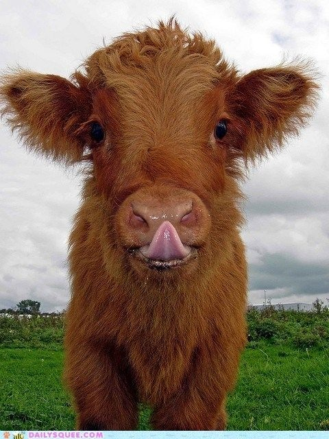 Moo: Farm, Highland Cow, Animals, Baby Animal, Fluffy Cow, Babycow, Baby Cows