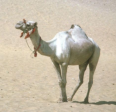 El camello es conocido como el barco del desierto