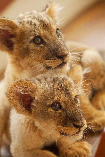 "lion, via Flickr.""perfect pair"""