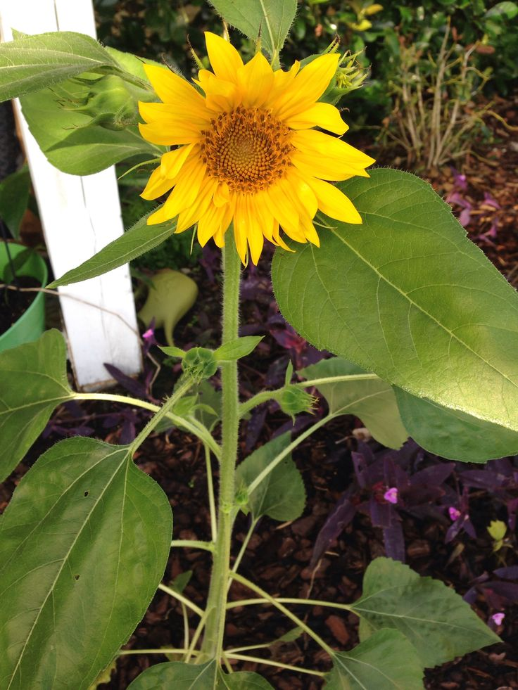 First sunflower of the summer 2014