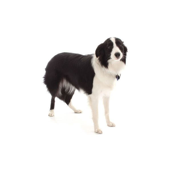 Border Collie ❤ liked on Polyvore featuring animals, dog, pets and fillers