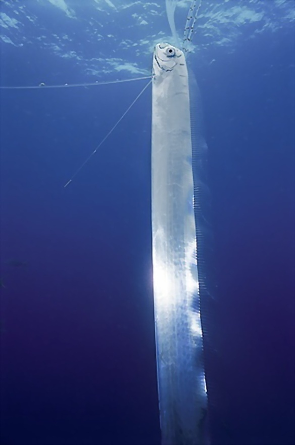 The Oarfish is a rare, solitary, and giant larger than a Whale Shark.Oarfish,17m as opposed to the Whale Shark, 12.96m in the and is a filter feeder, comfortable cruising at depths of 200 m. Mistakenly named for its prominent pectoral oars with which it was thought to 'row', it undulates serpentlike with its dorsal fins and has been seen orienting itself vertically  #Oarfish #ferrebeekeeper jalen says i wonder if these are what are frolicking in the Georgian Bay Ontario on the horizon..?