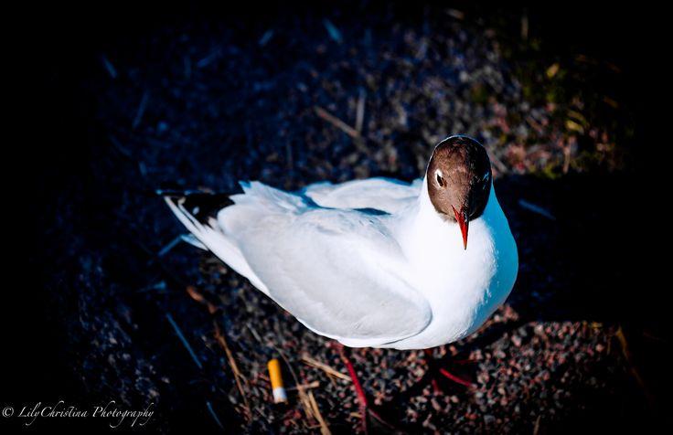 bird, birds, scandinavian birds, luontokuvaus, eläinkuvaus, animal, eläin, lintu, lokki, luontokuvat, nature picture.