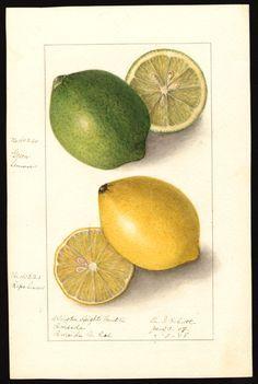 Artist:Schutt, Ellen Isham, 1873-1955 Scientific name:Citrus limon Common name:lemons art original : col. ; 17 x 25 cm. Watercolor Year:1908