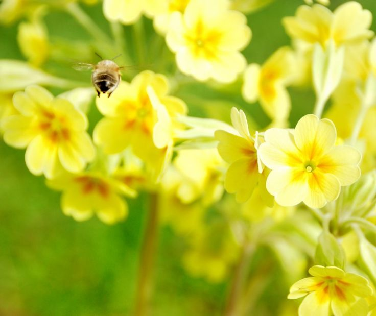 Un'ape che cerca polline su fiori di primula gialli