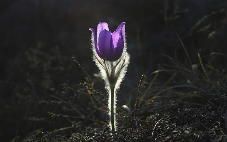 Sasanka, fot. pixabay #rośliny #kwiat #gatunki #ogrody #ogród #kwiatki #roślinność #natura #tapeta #łąka #flower #impianto #fiore #bello #rosa #colore #fragrante #nature #flowers #green #colorful #wallpaper #photos #pretty