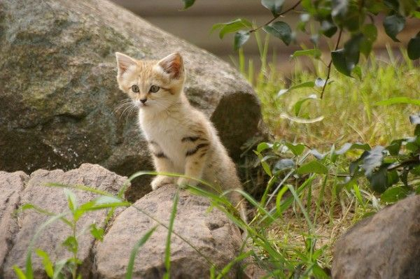 Sand Cat kitten in Parken Zoo in Sweden. Sand Cats are the smallest form of wild cat, originating in dry, sandy areas.