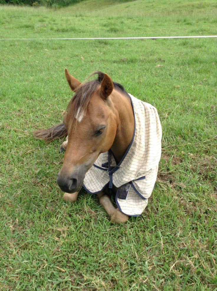Pony lying