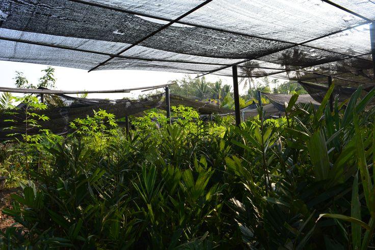 Bibit Salak Pondoh Banjarnegara Super Madu Unggul Bogor