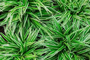 Ribbon Plant (Chlorophytum Comosum)   ASPCA