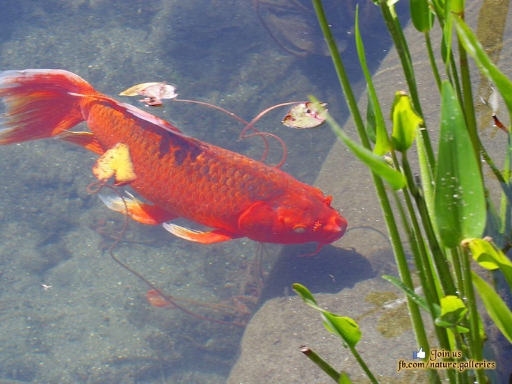 17 best images about love gold fish on pinterest for Koi goldfish for sale