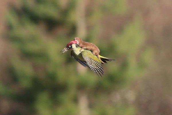 Úžasný snímek amatérského fotografa zachytil datla v letu s lasičkou na zádech!