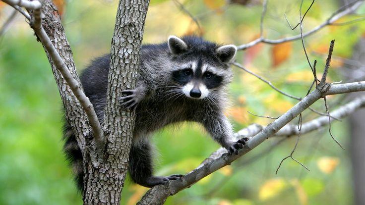 Животное енот-полоскун сидит на дереве