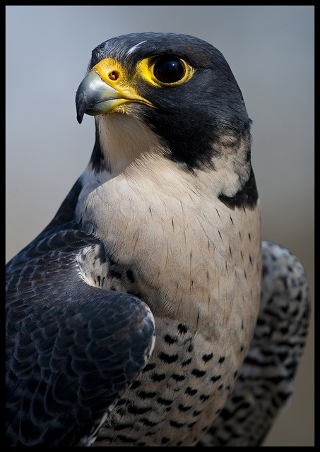 The Shaheen Falcon, also known as the Indian Peregrine Falcon, Black Shaheen, Indian Shaheen, or simply the Shaheen.