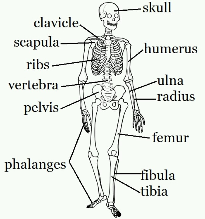 28 best muscles and bones images on pinterest | the human body, Skeleton