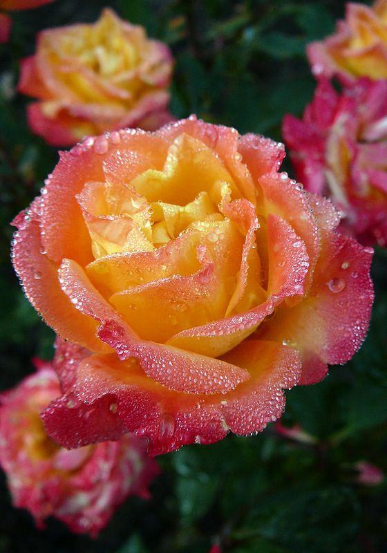 В росе мои розы... Галерея фото