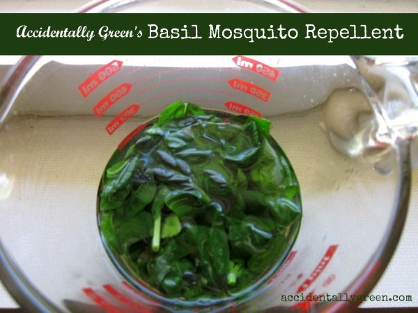 Have you ever thought of preventing or repelling mosquitoes with basil? The blood suckers are warded off by the fragrance of basil – so the more aromatic your basil plant, the better.