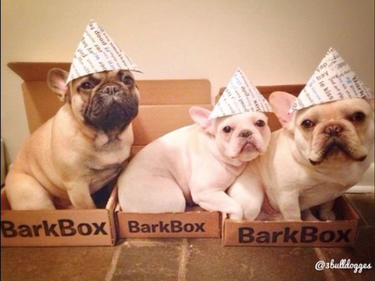 French Bulldogs in their Bark Boxes, @3bulldogges