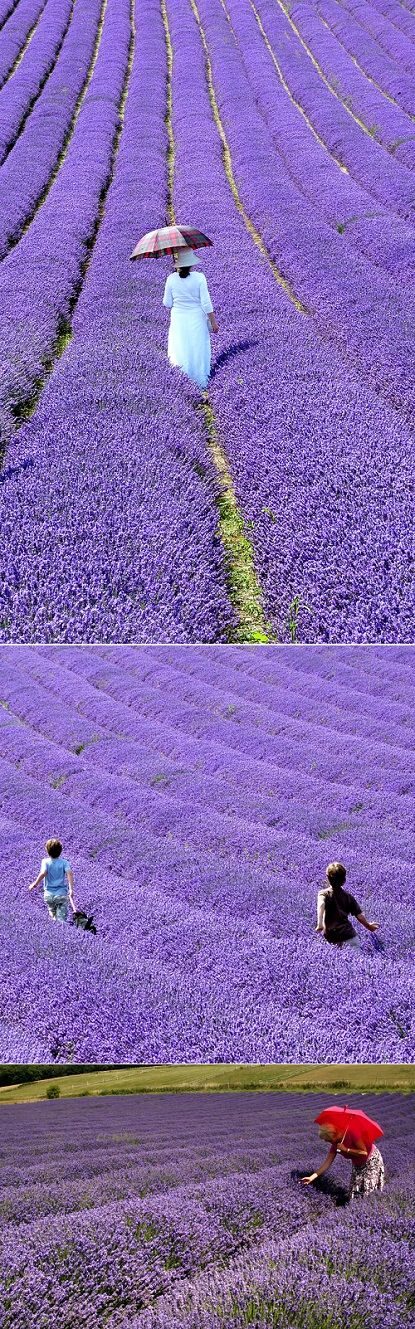 British Lavender Fields Hartley Park Farm, Alton, Hampshire England