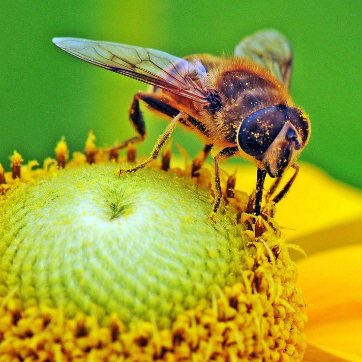Bee takes a pollen-bath #macro
