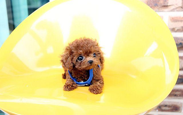 Miniature tea cup Poodles Puppies | teacup poodle puppy so cute precious teacup poodle puppy for sale