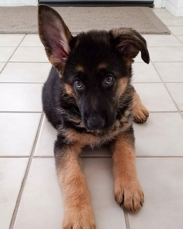 One Ear Up And One Ear Down Too Cute Novathegermanshepherd