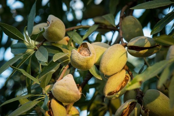 Almond nut suppliers - Almond Fruits