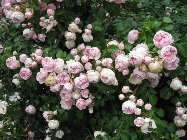 my own roses, in abundance,little augury: flowers