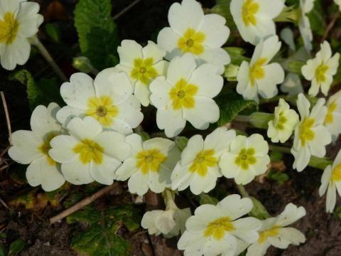 Primrose: the common primula | Nature Notes from Dorset
