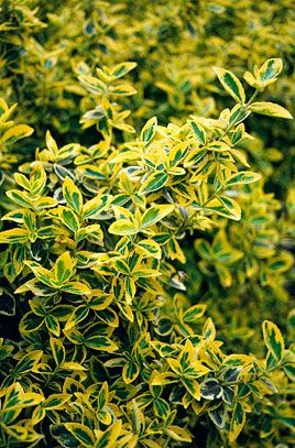 Euonymus fortunei 'Emerald 'n' Gold' (v) AGM - dwarf evergreen shrub of spreading habit, with broadly yellow-margined leaves, tinged pink in winter; occasionally produces a few small, inconspicuous greenish flowers. 0.1 x 0.5m