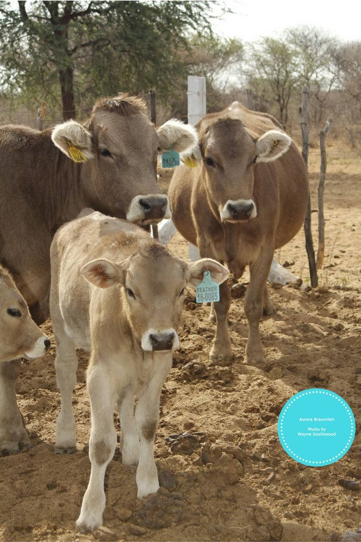 9 best braunvieh images on pinterest livestock cows and farm