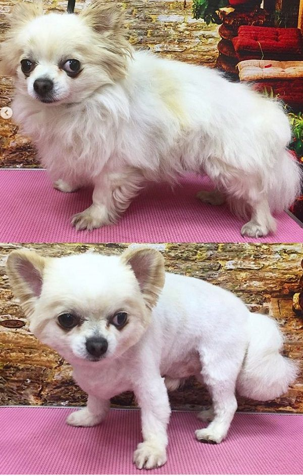 10 Best Long Haired Chihuahua Haircuts Page 2 Of 5 The Paws Long Haired Chihuahua Chihuahua Long Hair Styles