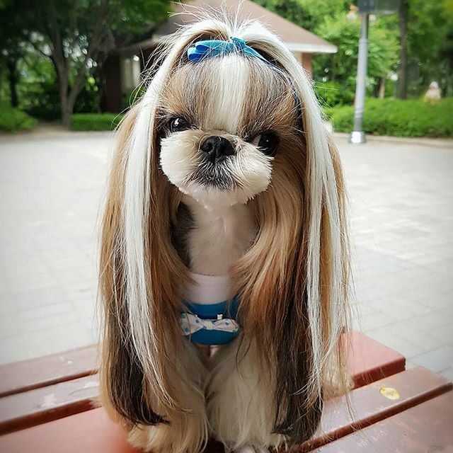 Follow us if you are Shih Tzu lover! To be featured⏩Follow us⏩Tag us #shihtzucorner Photo owner: @ddangkonglove