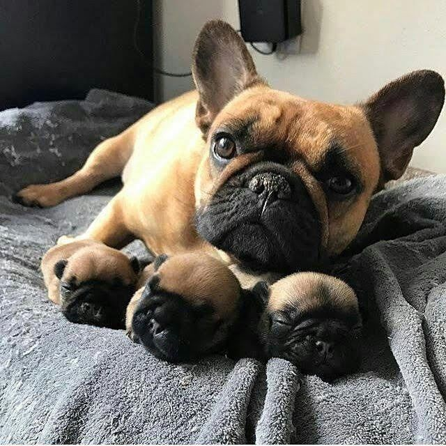 Cute Mummy And Pups Cute Animals Puppy Bulldog Puppies
