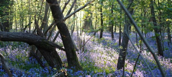 Bluebell Wood and trees