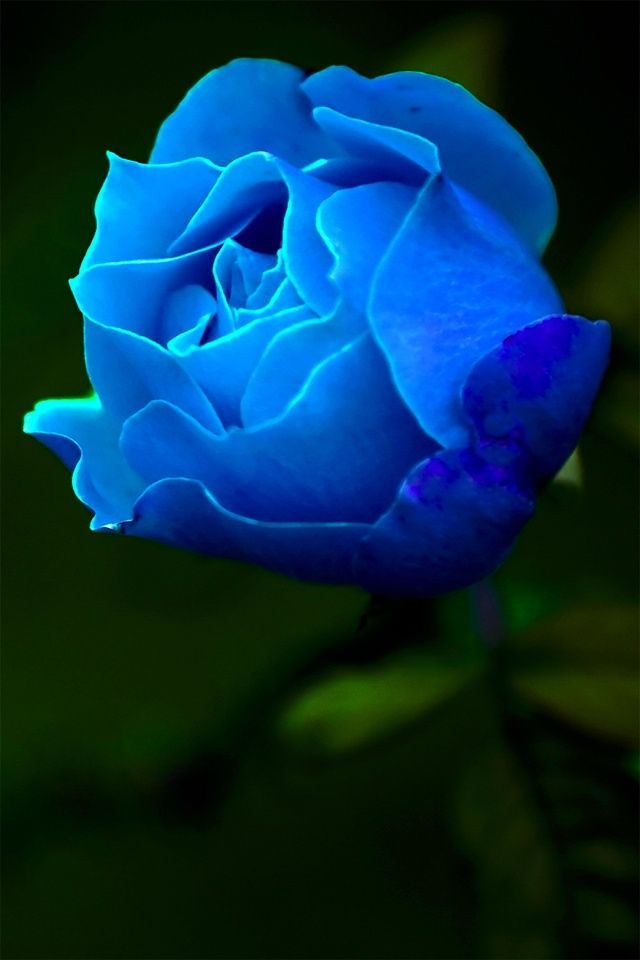 25 best ideas about blue roses on pinterest beautiful - Rose flowers wallpaper for mobile ...