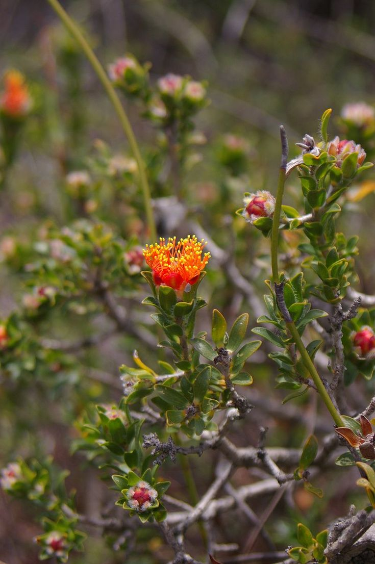 Eremaea asterocarpa, commonly known as rusty Eremaea, is a plat in the myrtle family, Myrtaceae and is endemic to south-west of Western Australia. It is a shrub with broad, flat leaves, and orange colored flowers in late winter or spring