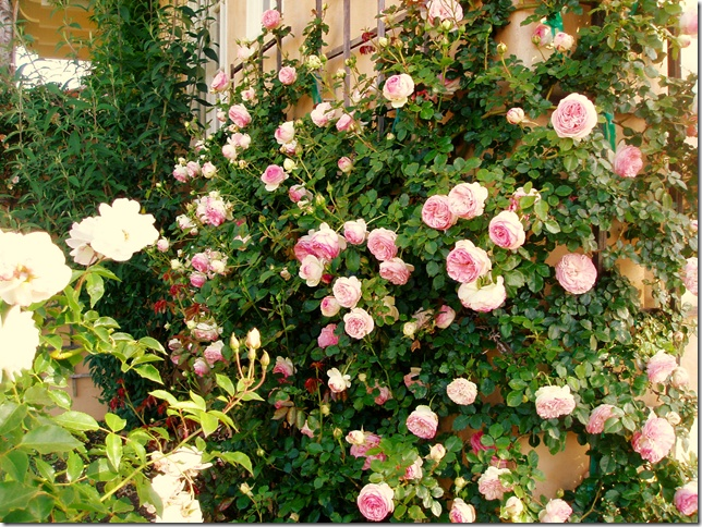 """Roses In Garden: 111 Best Images About """"ROMANTICA"""" Roses From MEILLAND"""