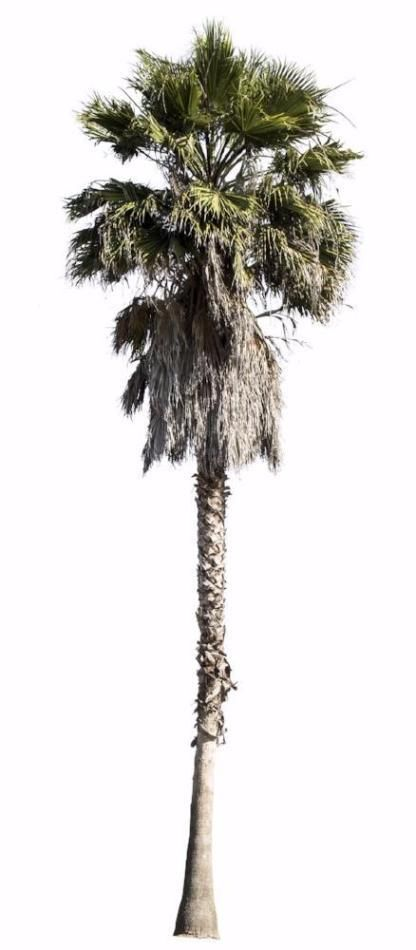 Washingtonia robusta, Palm tree. High quality png, transparent background.