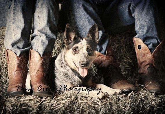 blue heeler dog western