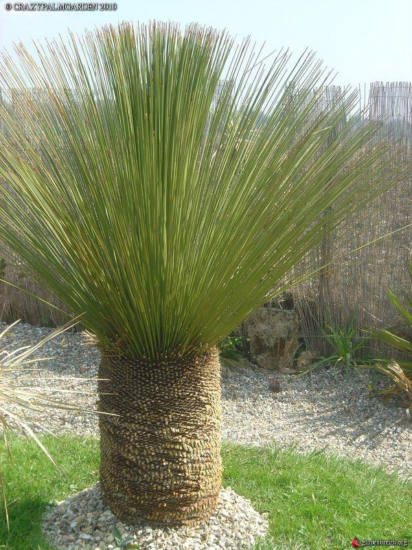 Dasylirion Longissimun Garden Trees Grasses Landscaping